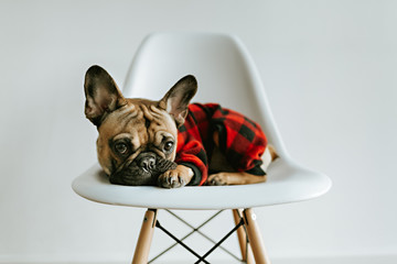 French Bulldog Puppy on a White Geometric Chair