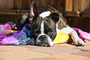 Bruce the Boston Terrier sunbathing.