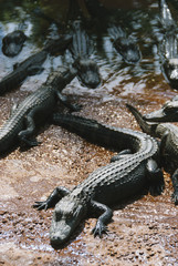 alligator nursery in Florida Evergalde