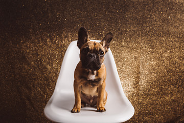 A French Bulldog Puppy Sitting on a Chair