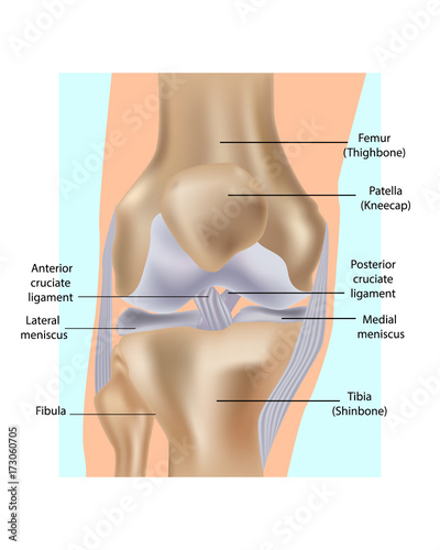 Knee Joint Anatomy Anatomical Illustration Of Knee Stock Image And