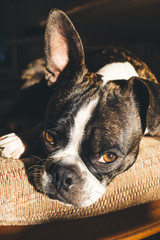 Bruce the Boston Terrier gets some California rays.