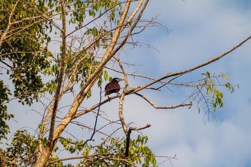 Montezuma oropendola (Psarocolius montezuma) on a tree, National Park Tikal, Guatemala