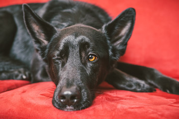Black Dog Wink on a Red Sofa