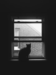 A black and white portrait of a cat looking out of a window