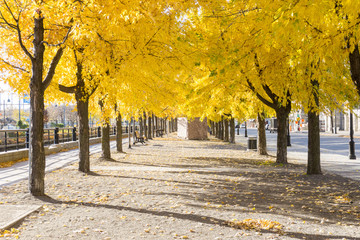 avenue changing colors trees city yellow golden autumn fall montreal quebec Wall mural