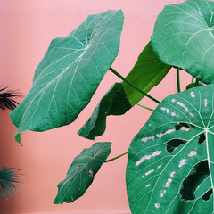Tropical palm leaves on a pink background