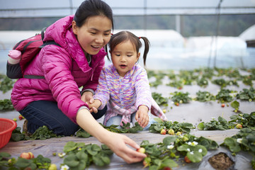 little asian girl picking strawberry in the farm with her mother