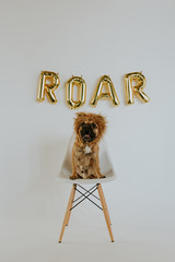 A Dog Wearing a Lion Mane Roaring with Roar Balloon Letters That Spell out Roar