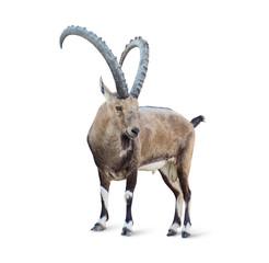Alpine Ibex isolated on white background