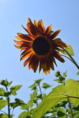 A sunflower of a different color