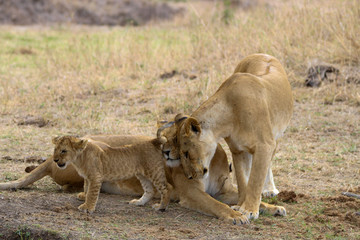 lion love in masai mara