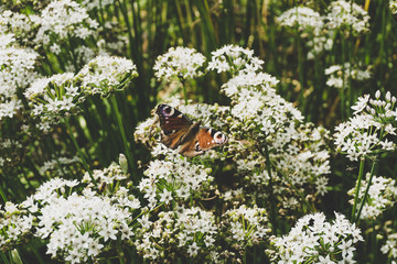 peacock butterfly on flowers