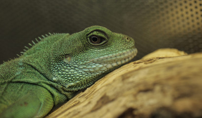 green lizard portrait - chinese water dragon