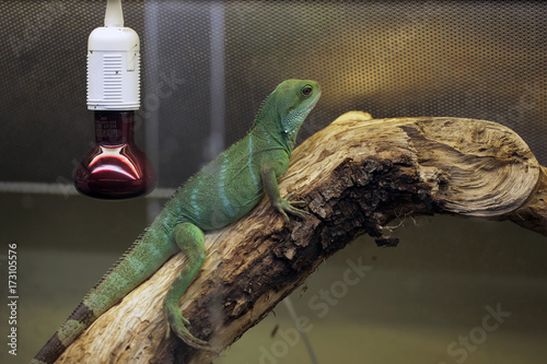Green Lizard In A Terrarium With Red Bulb Chinese Water Dragon