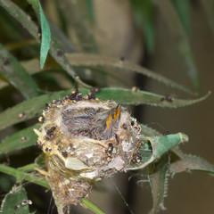 Hummingbird baby chicks in the nest - Stock photo