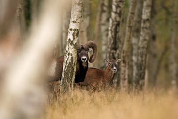 mouflon, ovis orientalis orientalis, Czech republic