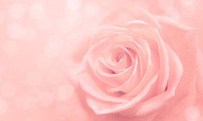 light pink rose and bokeh for soft background use
