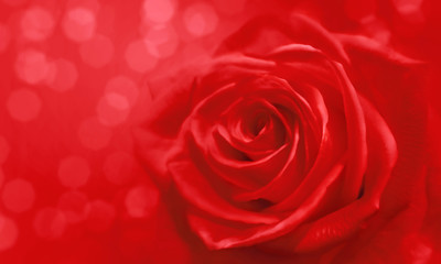 red rose and bokeh for soft background use