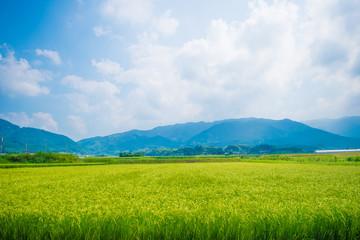 糸島の田んぼ
