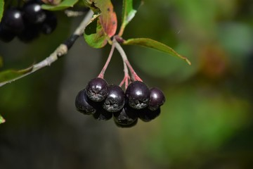 ripe black bush berries
