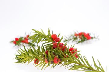 Nahaufnahme Zweig der Eibe (Taxus baccata) mit Beeren