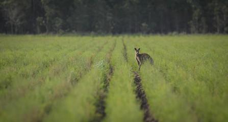 Wallaby in tea tree plantation