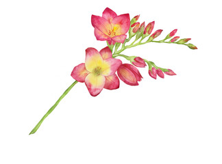 Watercolor illustration of a red freesia, bouquet, branch with buds.