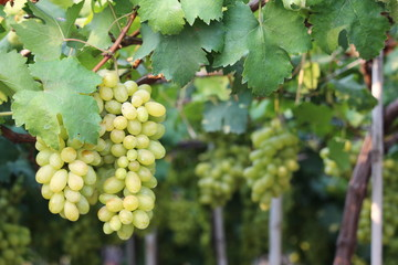 wine grapes on cordon at wine yard before harvest ,selective focus with blur background.