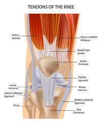 Tendons at the Front of the Knee. Knee Anatomy