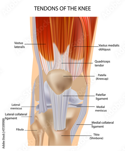 Tendons At The Front Of The Knee Knee Anatomy Stock Image And