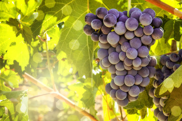 Wine grapes in a vineyard before autumn harvest