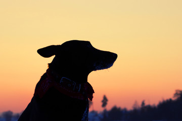 Silhouette of the dog on the street