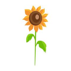Sunflower isolated White Background Decor Element