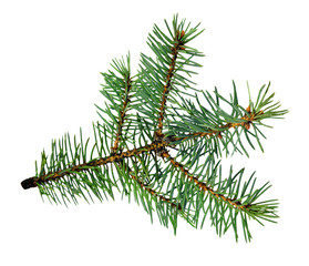 Tree branch, close-up. Isolated.