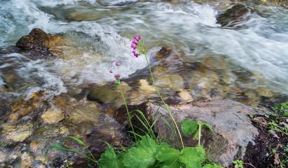 горный ручей и цветок