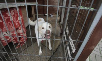 biały szczekający pies za kratami w schronisku