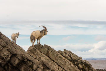 Pair of feral mountain goat on rocks above sea. Long-haired billy and nanny goats at Brean Down in Somerset, part of a wild herd