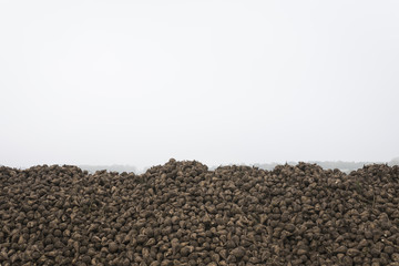 Field with pile of sugar beet in the mist, Netherlands, Europe