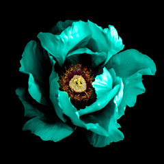 Surreal dark chrome cyan peony flower macro isolated on black