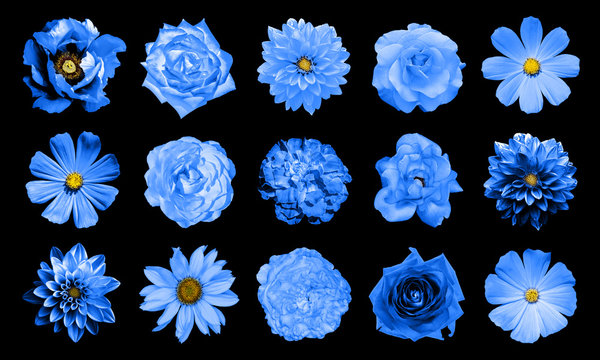 Mix collage of natural and surreal blue flowers 15 in 1: dahlias, primulas, perennial aster, daisy flower, roses, peony isolated on black