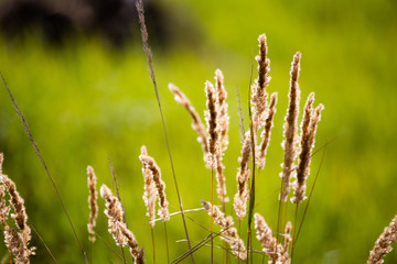 ears of grass on autumn in nature