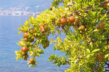 Branch of a pomegranate tree (Punica granatum) with leaves and ripe fruits against a blue sea background. Bay of Kotor, Montenegro