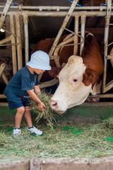 un bambino in una stalla nutre e gioca con mucche e tori