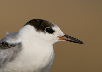 A head of young common tern on blurred background close up.