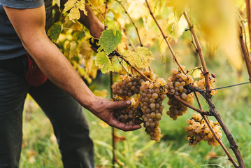 Grape harvest in the Tuscan hills.