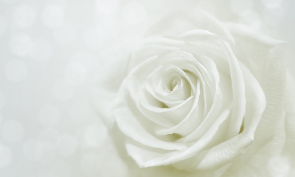 white rose and bokeh for soft background use