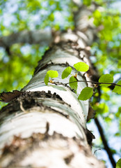 The trunk of a birch. The view from the bottom up. Spring. Focus on the branch with young green leaves