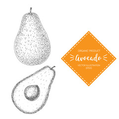 Avocado vector illustration. Hand-drawn design element. A fruit drawn in vintage style