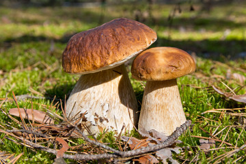 Cep mushroom . Two Mushrooms in the moss in the forest.